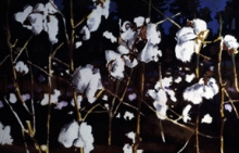 North Carolina artist J. Chris Wilson's Landscape Painting <em>Cotton</em> see also &quot;From Murphy to Manteo--An Artist's Scenic Journey&quot;